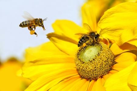Bee in flight and Dahlia Garden  Dahlia Cav   photo