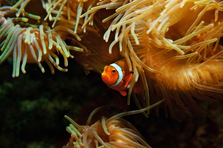 amphiprion ocellaris: Clown Fish (Amphiprion ocellaris) Stock Photo