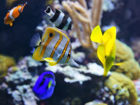 butterflyfish: Copperband Butterflyfish (Chelmon rostratus)