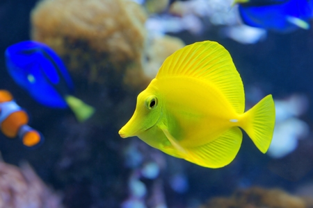 Yellow tang (Zebrasoma flavescens) photo