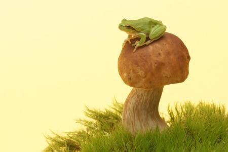 Tree frog  Hyla arborea  on mushroom, Boletus photo