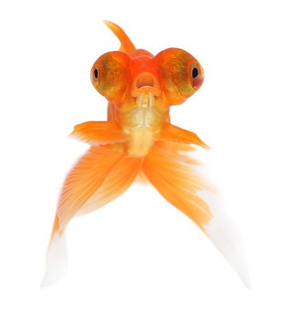 protruding eyes: Goldfish on a white background Stock Photo
