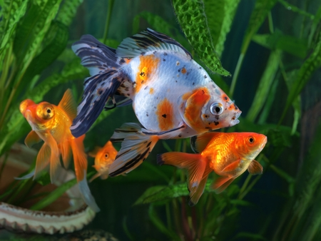 Goldfish, aquarium, a group of fish on the background of aquatic plants