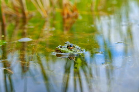 Edible Frog  Pelophylax kl  esculentus , as background Stock Photo