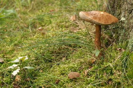 bolete: Birch bolete  Leccinum scabrum , edible mushroom