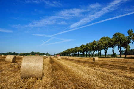 Field after the harvest, big round straw bales in the field photo
