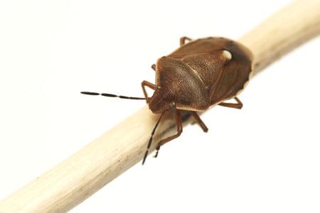 green shield bug: Green shield bug in autumn colors  Palomena prasina