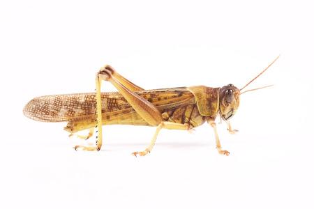 langosta: Langosta, Langosta del desierto Schistocerca gregaria