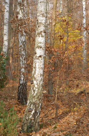 hubs: Birch tree trunk covered with mushrooms hubs, autumn