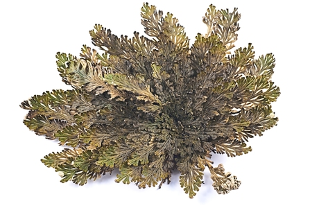 Rose of Jericho (Selaginella lepidophylla), other common names include Jericho rose, resurrection moss, dinosaur plant, stone flower, Resurrection plant, Mary