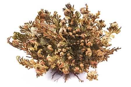 Rose of Jericho (Selaginella lepidophylla), False Rose of Jericho, other common names include Jericho rose, resurrection moss, dinosaur plant, siempre viva, stone flower, doradilla, Resurrection plant, Mary