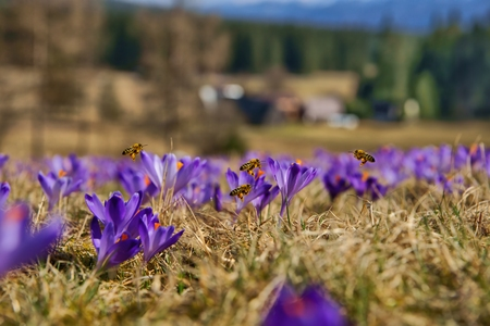 apis: Honeybees (Apis mellifera), bees flying over the crocuses in the spring on a mountain meadow in the Tatra Mountains, Poland Stock Photo