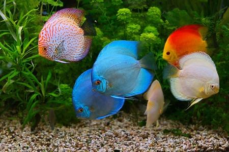 rio amazonas: Discus (Symphysodon), c�clidos multicolores en el acuario, el nativo de peces de agua dulce de la cuenca del r�o Amazonas