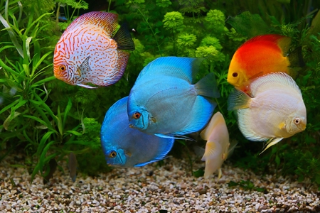 discus: Discus (Symphysodon), multi-colored cichlids in the aquarium, the freshwater fish native to the Amazon River basin