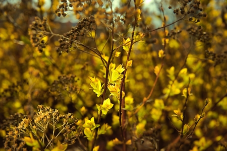 developing: Spring, developing leaves on the bushes, as background