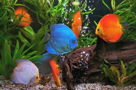discus: Multicolored Symphysodon discus cichlids in the aquarium of the freshwater fish native to the Amazon River basin Stock Photo