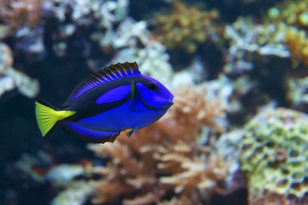 surgeonfish: Blue tang Paracanthurus hepatus, a number of common names are attributed to the species, Including palette surgeonfish, Regal tang