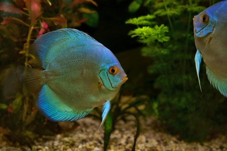 freshwater aquarium plants: Discus Symphysodon, cichlids in the aquarium, the freshwater fish native to the Amazon River basin