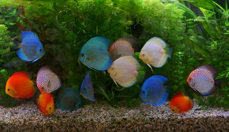 freshwater aquarium plants: Discus Symphysodon, multi-colored cichlids in the aquarium, the freshwater fish native to the Amazon River basin