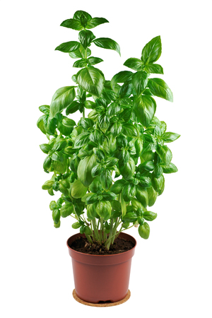 basil herb: Basil in flowerpot on a white background Stock Photo