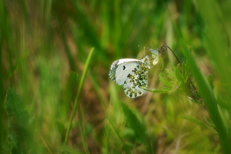 Orange tip (Anthocharis cardamines) female, is a butterfly in the family Pieridae