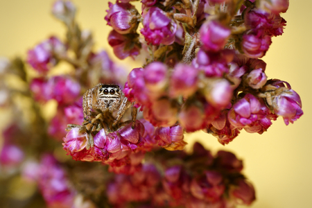 salticidae: Jumping Spider (family Salticidae), hidden and crouching in the flowers