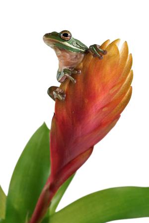 guzmania: Tree frog (Litoria infrafrenata) on a flower Bromelia
