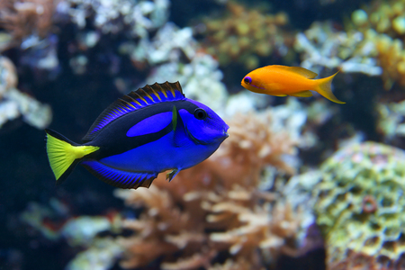 surgeonfish: Blue tang (Paracanthurus hepatus), a number of common names are attributed to the species, including  Palette surgeonfish, Regal tang, and Dottyback