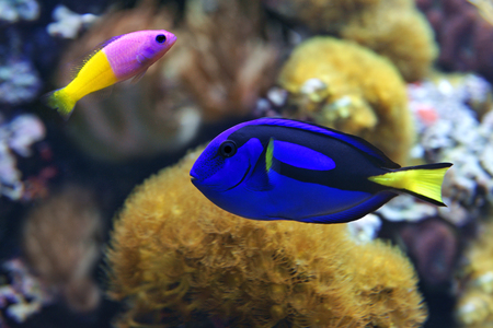 surgeonfish: Blue tang (Paracanthurus hepatus), a number of common names are attributed to the species, including  Palette surgeonfish, Regal tang, and Bicolor Dottyback (Pictichromis paccagnella)