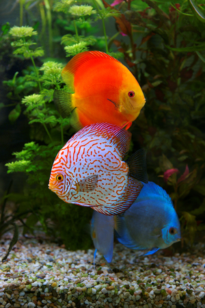 freshwater aquarium plants: Discus (Symphysodon), multi colored cichlids in the aquarium, the freshwater fish native to the Amazon River basin