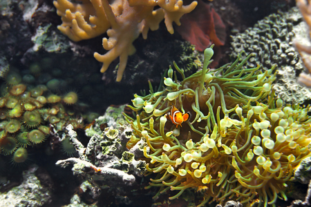 false percula: Clown Fish (Amphiprion ocellaris) and sea anemones as background, also known as the Ocellaris Clownfish, False Percula Clownfish or Common clownfish