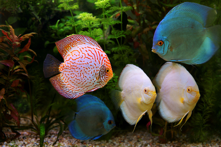 freshwater aquarium plants: Discus (Symphysodon), multi-colored cichlids in the aquarium, the freshwater fish native to the Amazon River basin