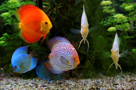 Discus (Symphysodon), mehrfarbige Cichliden im Aquarium, die Süßwasserfische stammt aus dem Amazonas-Becken