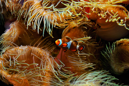 false percula: Clown Fish (Amphiprion ocellaris) and sea anemones as background, also known as the Ocellaris Clownfish , False Percula Clownfish or Common clownfish