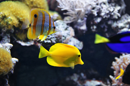 copperband butterflyfish: Copperband Butterflyfish (Chelmon rostratus) also commonly called the Beak Coralfish, and Yellow tang (Zebrasoma flavescens). These are some of the most popular aquarium fish