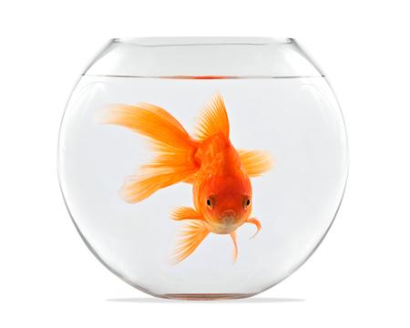金魚のガラス球のと白い背景の上に浮かんでいます。