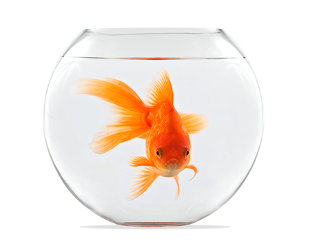 Goldfish floating in glass sphere and on a white background Zdjęcie Seryjne - 70999556