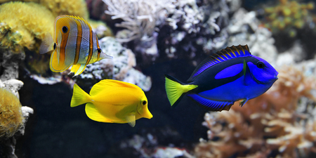 Sea fish, Blue tang (Paracanthurus hepatus), Copperband Butterflyfish (Chelmon rostratus) and Yellow tang (Zebrasoma flavescens). These are the most popular aquarium fish of the sea Stock Photo