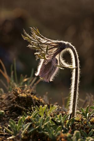 Pasque flower (Pulsatilla Mill.) or pasqueflower, wind flower, prairie crocus, Easter flower, and meadow anemone, Spring. Stock Photo