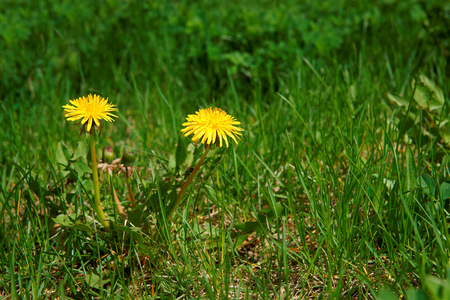 hundreds: Dandelion (Taraxacum officinale), flowers in the meadow as background, spring. A dandelion flower head composed of hundreds of smaller florets
