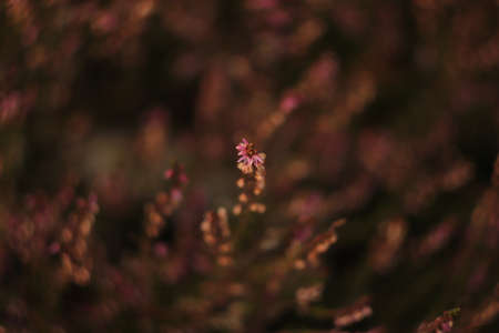 purple heather flowers in a sunny clearing in the forest