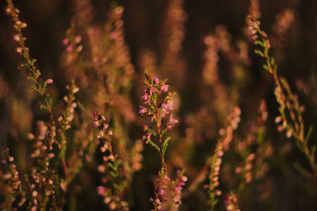 small heather flowers in a clearing in the forest