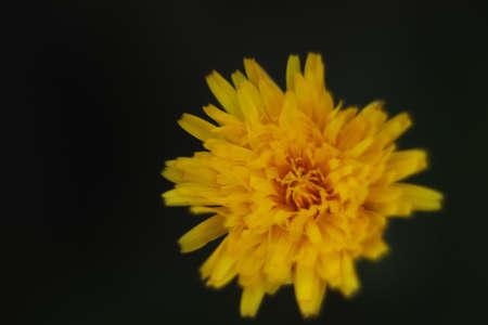 yellow autumn flower on a dark background