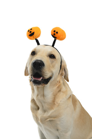 dog with halloween antlers, costume, studio photoshoot in front of white background