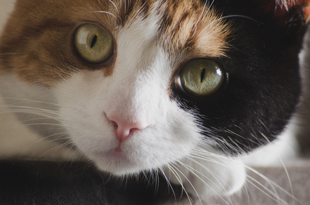 calico whiskers: cute cat resting her head on her paw, closeup, large green eyes