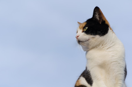 calico whiskers: calico cat with the blue sky in the background Stock Photo