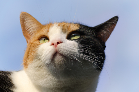 calico whiskers: headshot of a calico cat with the blue sky in the background