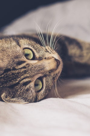 one sheet: tabby cat with big green eyes lying on a side in bed sheets