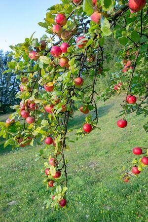 Organic apples on branch. Summer fruits