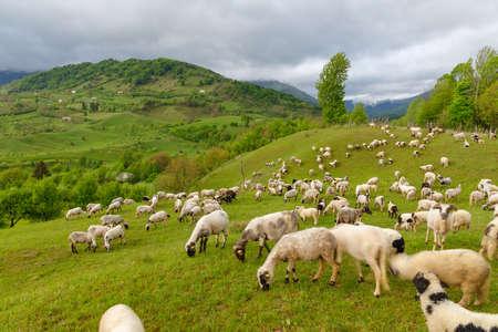 Sheep grazing on filed.  Rural Scene Transilvania, Romania Banco de Imagens